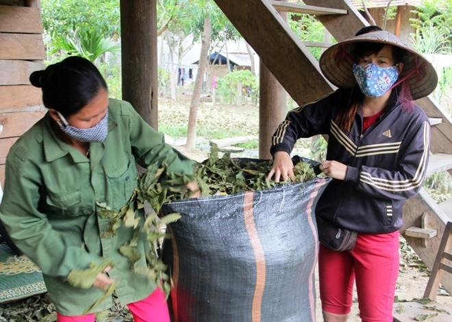 """Sau khi đi hái lá chua ke về là lái buôn sẽ đến thu mua ngay. """"Thời gian này việc nông nhà, chúng tôi không có gì làm nên người dân đổ xô đi hái lá chua ke về bán nhiều lắm"""", anh Lương, một hộ dân ở xã Châu Phong, huyện Quế Phong cho biết."""