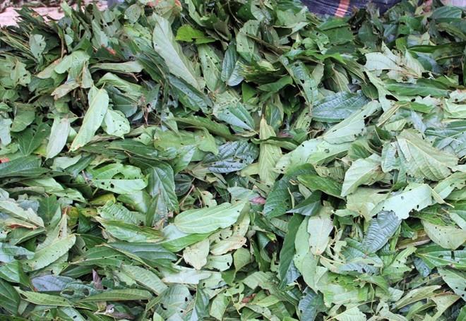 Người dân có thể để hái lá cây tươi đem về sau đó bán thẳng cho các lái buôn hoặc phơi khô.