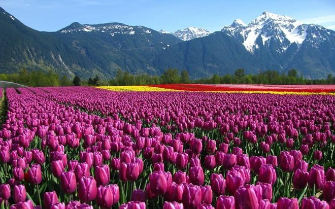 8. Hà Lan: Ngoài những cánh đồng hoa tuyệt đẹp, Hà Lan còn được đánh giá cao nhờ giáo dục, y tế và tự do. Ảnh: Goodwp.
