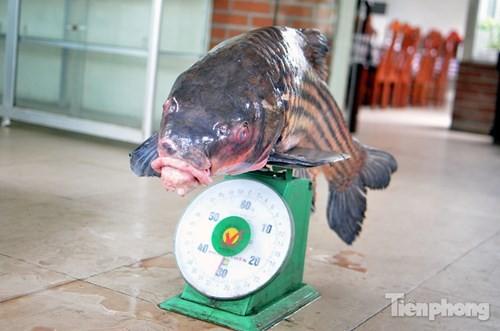 [ẢNH] Cá Hô hơn 30kg 'hàng hiếm' phục vụ dân Hà thành sành ăn - ảnh 1