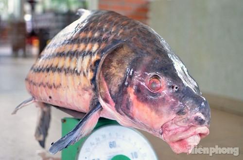 [ẢNH] Cá Hô hơn 30kg 'hàng hiếm' phục vụ dân Hà thành sành ăn - ảnh 2