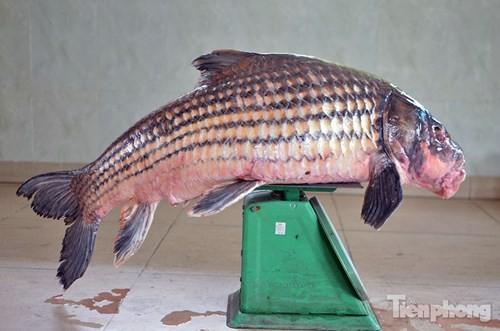 [ẢNH] Cá Hô hơn 30kg 'hàng hiếm' phục vụ dân Hà thành sành ăn - ảnh 8