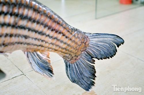 [ẢNH] Cá Hô hơn 30kg 'hàng hiếm' phục vụ dân Hà thành sành ăn - ảnh 4