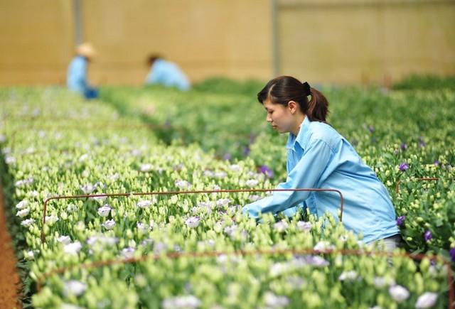Nông trại hoa của Đà Lạt Hasfarm. Nguồn: Dalathasfarm.com