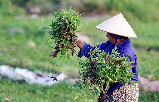 Vào mỗi buổi sáng, người dân lại hái rau đem ra chợ bán.