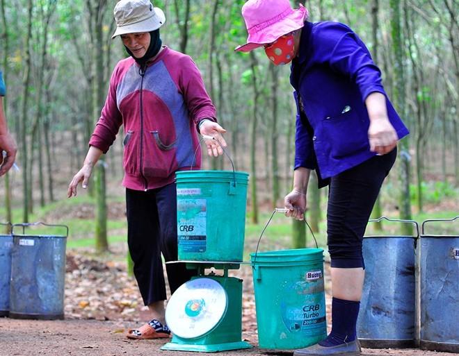 Giá mủ cao su lao dốc, người trồng chặt cây bán gỗ