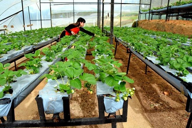 Nằm giữa lưng chừng một con đèo thuộc quốc lộ 20, đường đi chùa Linh Phước Trại Mát, phường 11, TP Đà Lạt (Lâm Đồng), vườn dâu Newzealand rộng 7.000m2 của gia đình anh Phan Tuấn Linh (37 tuổi) đã được trồng cách đây 2 năm.