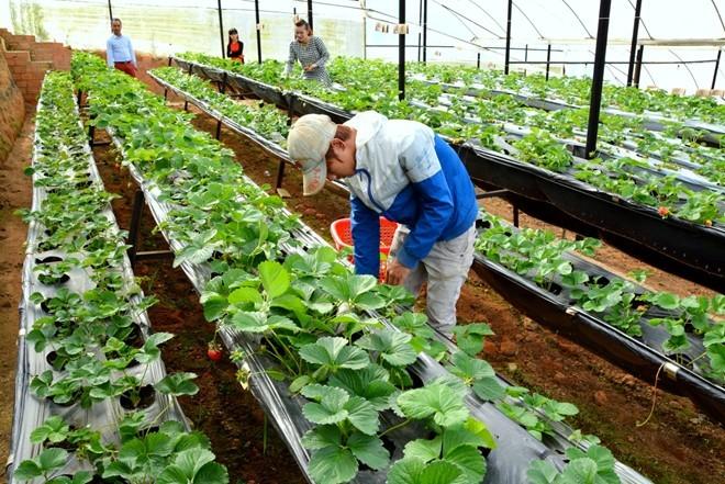 Nằm giữa lưng chừng một con đèo thuộc quốc lộ 20, đường đi chùa Linh Phước Trại Mát, phường 11, TP Đà Lạt (Lâm Đồng), vườn dâu NewZealand rộng 7.000 m2 của gia đình anh Phan Tuấn Linh (37 tuổi) đã được trồng cách đây 2 năm.