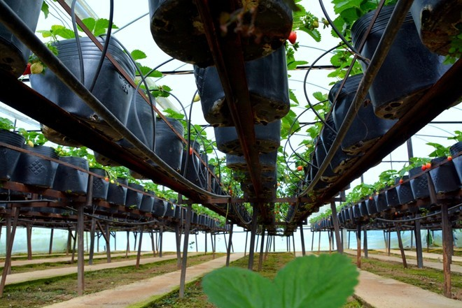 Vườn dâu tây New Zealand cho khách hái miễn phí