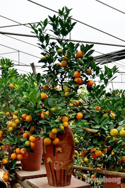 Hàng độc quất bonsai giá chục triệu cho thuê chơi Tết - ảnh 8