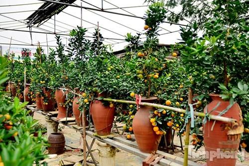 Hàng độc quất bonsai giá chục triệu cho thuê chơi Tết - ảnh 3