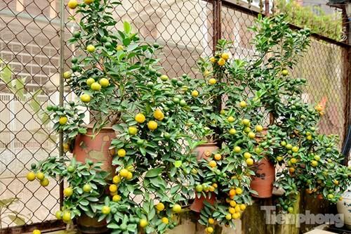 Hàng độc quất bonsai giá chục triệu cho thuê chơi Tết - ảnh 5