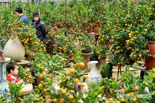 Hàng độc quất bonsai giá chục triệu cho thuê chơi Tết - ảnh 1