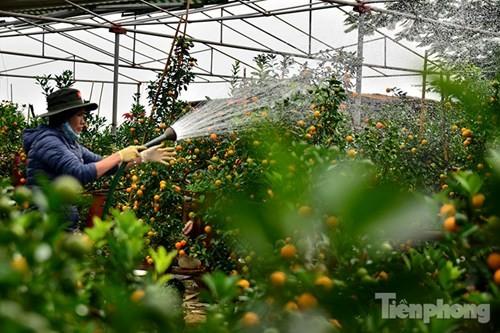 Hàng độc quất bonsai giá chục triệu cho thuê chơi Tết - ảnh 15