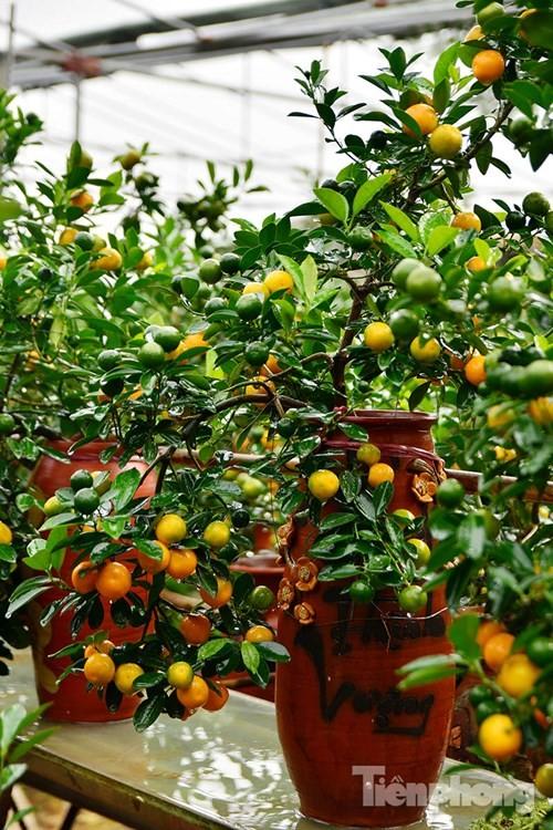 Hàng độc quất bonsai giá chục triệu cho thuê chơi Tết - ảnh 2