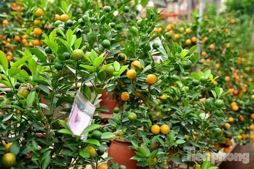 Hàng độc quất bonsai giá chục triệu cho thuê chơi Tết - ảnh 14