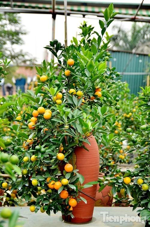 Hàng độc quất bonsai giá chục triệu cho thuê chơi Tết - ảnh 12