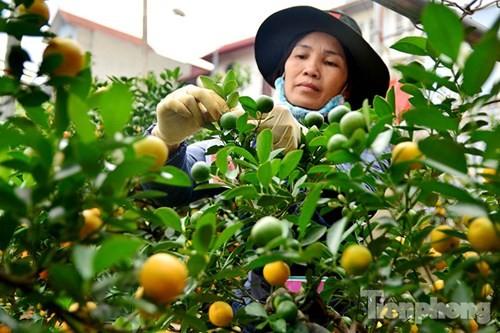 Hàng độc quất bonsai giá chục triệu cho thuê chơi Tết - ảnh 13