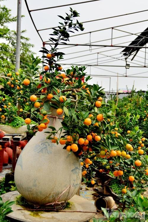 Hàng độc quất bonsai giá chục triệu cho thuê chơi Tết - ảnh 9