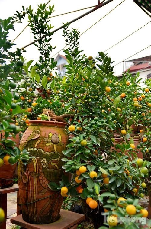 Hàng độc quất bonsai giá chục triệu cho thuê chơi Tết - ảnh 6