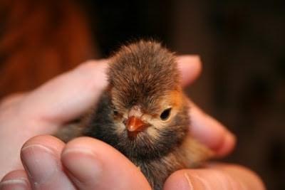 Hiện người muốn mua giống gà này có thể mua con giống với giá mềm hơn rất nhiều so với con trưởng thành (tùy theo độ tuổi của gà).