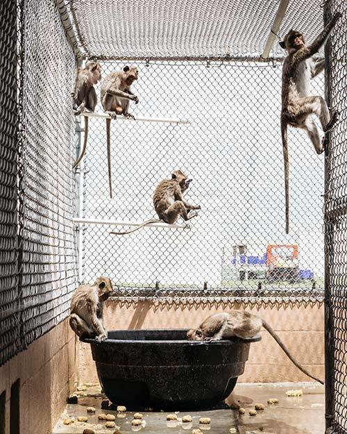 Những lồng nuôi khỉ tại các trang trại.