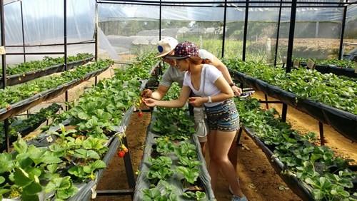 Đôi bạn trẻ Đỗ Ngọc Hòa – Lê Quỳnh Minh Tâm tạo đủ kiểu dáng kỷ niệm với vườn dâu tây.