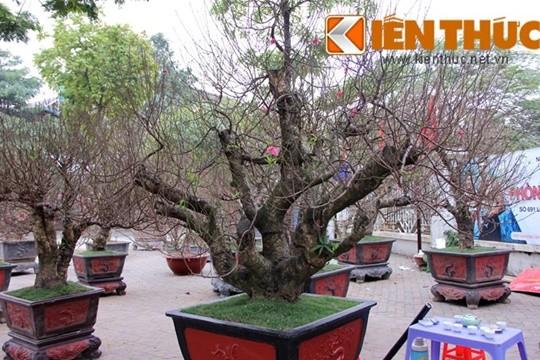 Một chủ vườn đào Nhật Tân cho biết, giá của cây đào thế quần tụ này là 50 triệu đồng, ngoài bán, nhà vườn cũng có khách thuê chơi Tết.