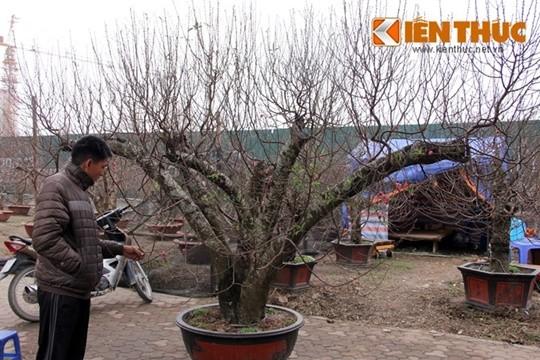 Những người làm đào cho biết, cây đắt vì nhiều yếu tố, không hẳn những cây đào thế to, nhiều cành lá mới là chất. Người chơi chú trọng vào thần thái toát lên từ dáng cây.