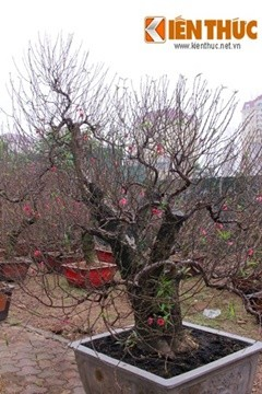 Một gốc đào thế được chủ nhân vườn đào Phú Thượng (Hà Nội) định giá 50 triệu đồng.