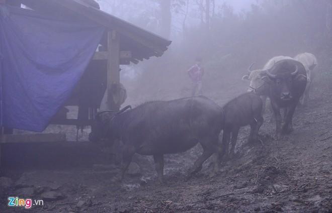 Người dân Sa Pa vất vả lùa trâu đi tránh rét
