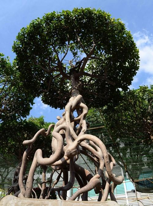 Cây gừa có bộ rễ độc đáo - Ảnh: Diệp Đức Minh