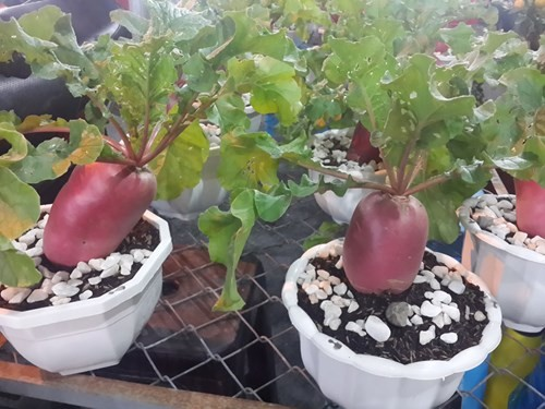 Củ cải màu tím hồng có nguồn gốc từ Nga - Ảnh: Mai Vọng