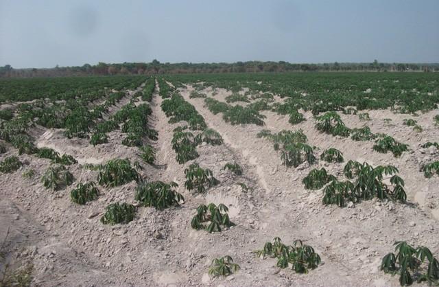 Nhiều khu đất bên trong dự án đã được người dân canh tác, trồng cây ăn trái, rau quả để kinh doanh.
