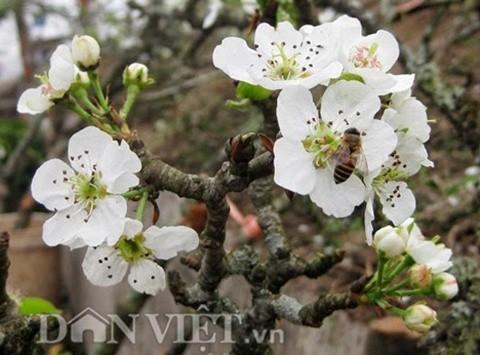 Hoa lê rừng vẫn có sức hút riêng với loài ong lấy mật.