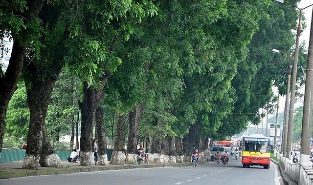 Hàng xà cừ cổ thụ tuyệt đẹp trên đường Kim Mã đoạn qua công viên Thủ Lệ sẽ phải chặt hạ, di dời để triển khai dự án đường sắt đô thị trên cao.