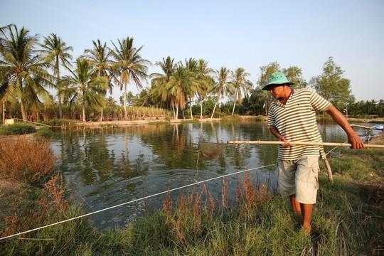 Nông dân ở xã Định An, huyện Trà Cú (tỉnh Trà Vinh) vớt cá lóc bị bệnh lên bờ Ảnh: CA LINH