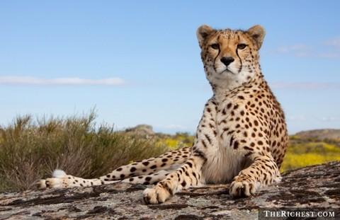 Thú nuôi đặc biệt. Tiêu tốn: > 150.000 USD. Báo, chim ưng, đại bàng, sư tử, hổ ... là những thú nuôi đặc biệt và rất tốn kém, tỉ mẩn để nuôi. Các đại gia Trung Đông luôn là những người dẫn đầu trong việc chơi trội với các vật nuôi thuộc dạng khủng