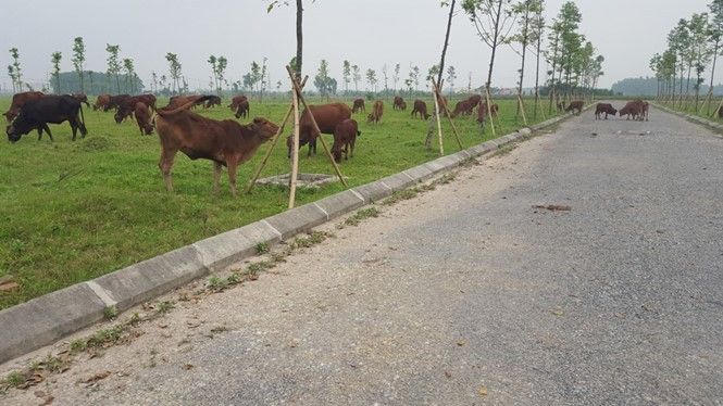 Làm khu đô thị để... thả bò