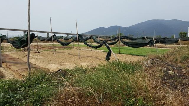 Khu đất vàng nằm ngay bờ sông Hàn đang được người dân tận dụng làm đất trồng rau và các loại cây ăn quả.