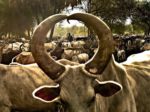 Úc cấm xuất trâu, bò sang Việt Nam vì nghi ngờ ngược đãi động vật - ảnh 1