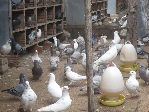 Trang trại bồ câu của anh Minh