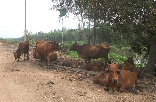 Cũng giống như nhiều dự án khu dân cư bỏ hoang khác trên địa bàn TP.HCM, bên trong Dự án khu Đô thị Đại học quốc tế Việt Nam là vùng đất rất lý tưởng cho việc chăn thả trâu bò vì nguồn cỏ xanh tốt quanh năm.