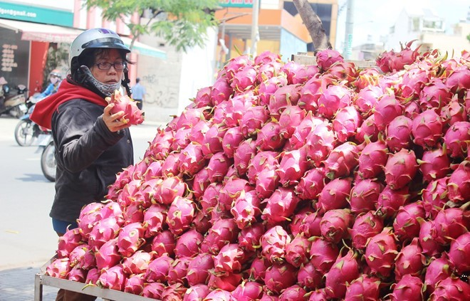 Thanh long do dong le duong Sai Gon gia 200 dong/kg tai vuon hinh anh 2