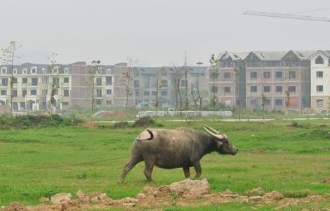 Đất thu hồi để quy hoạch bị bỏ hoang tạo nên trào lưu chăn nuôi trong đô thị (Ảnh minh họa - Linh San)