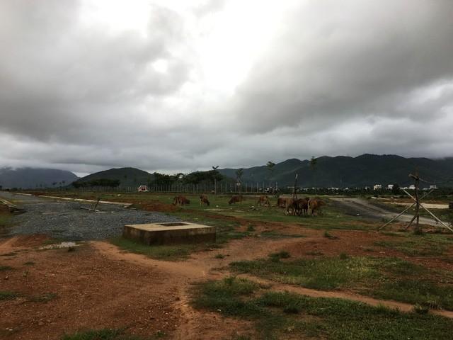Bên trong dự án là nơi tốt nhất để cho trâu bò sinh sống nhờ nguồn cỏ xanh và các hồ nước bao quanh