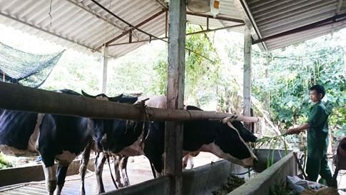 Dân bán bò sữa hàng loạt vì giá sữa rẻ hơn nước lọc 1