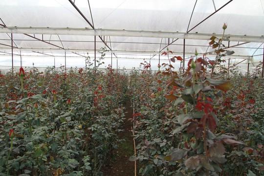 Nhiều vườn hoa hồng đã được thu hoạch sạch trước lễ 20-11.