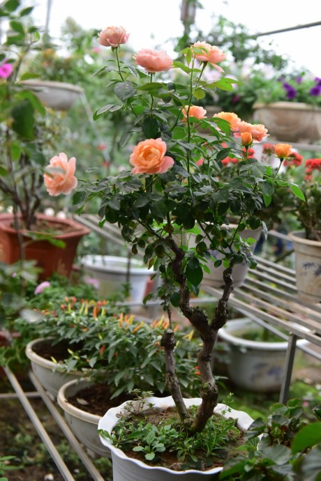 Hoa hong Thai Lan, Sa Pa gia hang chuc trieu choi Tet - Anh 10