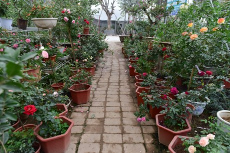 Hoa hong Thai Lan, Sa Pa gia hang chuc trieu choi Tet - Anh 1